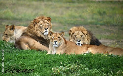 Photo leones