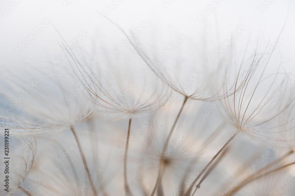 Fototapety, obrazy: Makroaufnahme einer Pusteblume