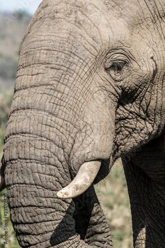 Foto auf AluDibond Elefant african elephant