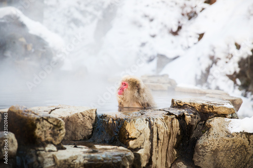 Staande foto Aap animals, nature and wildlife concept - japanese macaque or snow monkey in hot spring of jigokudani park