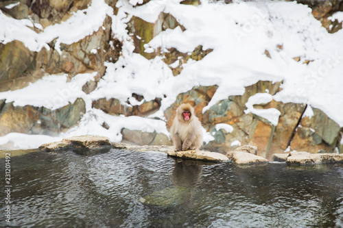Foto op Plexiglas Aap animals, nature and wildlife concept - japanese macaque or snow monkey in hot spring of jigokudani park