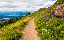 Beautiful Wildflowers Blooming Along The Hillside In Washington State, USA