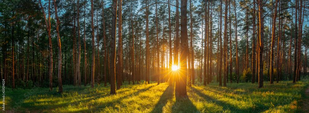 Fototapety, obrazy: Sunset Sunrise Sun Sunshine In Sunny Summer Coniferous Forest. S