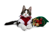 Sweet Black Tabby With White Maine Coon Cat Kitten Wearing Christmas Cloths, Laying Beside A Green Bag Of Presents Looking Naughty To Camera. Isolated On White Background.