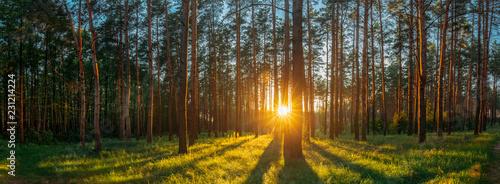Poster Arbre Sunset Sunrise Sun Sunshine In Sunny Summer Coniferous Forest. S