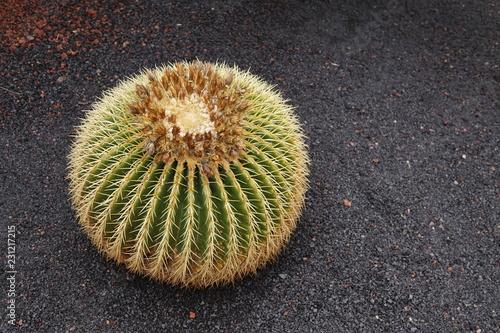 Spoed Foto op Canvas Cactus cactus in garden