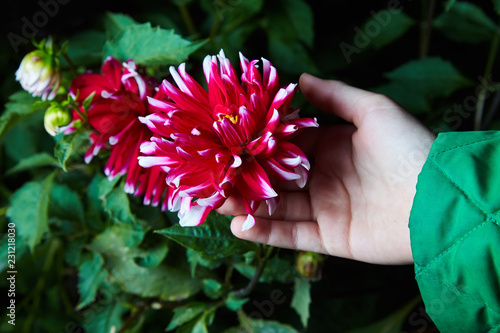 Fotomural Close up dahlias flower in child's hands growing outdoors, studio flash is used