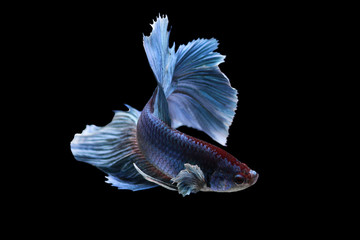 Colourful Betta fish, Siamese fighting fish