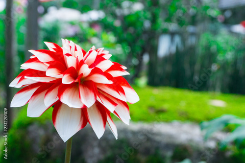 In de dag Dahlia White red dahlia flower beautiful petal blooming at dahlia Japan garden park in autumn winter,beautiful isolated background,Switch twotone lobe