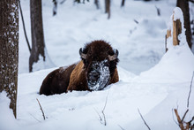 American Bison Or Buffalo Rest...