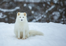 Artic Fox Shot Far North In Quebec, Canada.