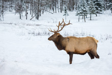 American Or Canadian Elk Shot In Early Winter In Deep Snow North Quebec Canada.