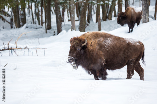 Aluminium Prints Bison American Bison or Buffalo resting in a snow storm in north Quebec Canada.