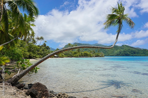 Tropical seascape, a coconut palm tree leans over clear water in French Polynesia, Huahine island, south Pacific ocean