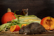 Close-up Rat  (Rattus Norvegicus) Before Orange Pumpkin And Corn. Second Rat Peep Out From Behind The Corn. Inside  Of  Pantry.Small DoF Focus Only To One Rat On Foreground.