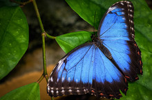 Blue Morpho Butterfly On A Green Leaf