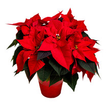 Vibrant Red Poinsettia Plant O...