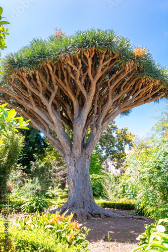 Tuinposter Canarische Eilanden Canary Islands dragon tree, La Orotava, Tenerife, Spain