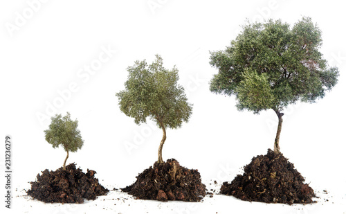Poster Olijfboom Three olive trees
