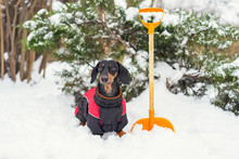 A Dachshund Dog, Black And Tan, Dressed In Warm Clothes, Stands Next To An Orange Shovel. Janitor Cleans Snow In The Yard