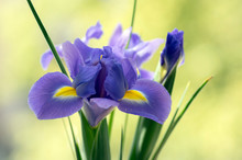Iris Hollandica Sapphire Beauty Ornamental Flowering Plant, Purple Violet And Partly Yellow Flowers In Bloom