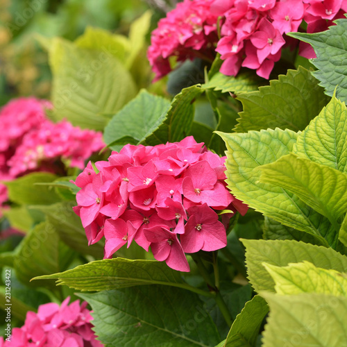 Spoed Foto op Canvas Hydrangea Pink hydrangea flowers in the garden