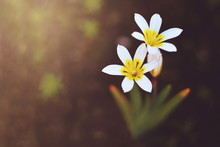 Top View Of White Six Petal Flowers On Blurred Background