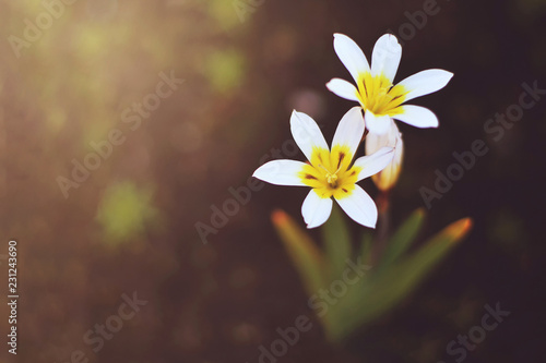 Top View Of White Six Petal Flowers On Blurred Background Buy This