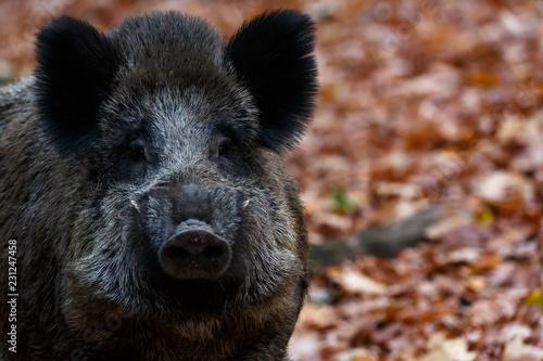 Wildschwein im Herbst