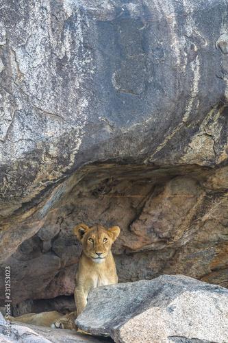 Photo  Futre Lion King in The Den