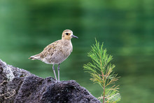 Pacific Golden Plover (pluvialis Fulva) Standing On A Volcanic Rock Near A Young Pine Tree Sapling. Nearby Pond Is In The Background. In Hilo, Hawaii.