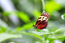 Golden Helicon Butterfly (Heli...