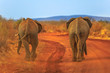 canvas print picture - Two adult Elephants, Loxdonta Africana, walking on red sand. Back view. Safari game drive in Madikwe Reserve, South Africa, near Botswana and Kalahari Desert. The African Elephant is part of Big Five.