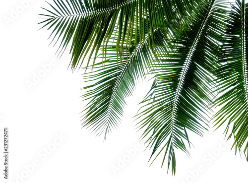 green branch of coconut palm tree isolated on white background
