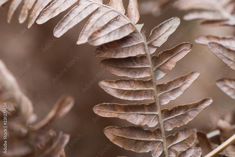 Fototapety, obrazy:  dried brown fern leaf macro