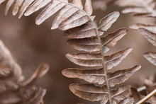 Dried Brown Fern Leaf Macro