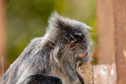 Foto op Plexiglas Aap Silver Leaf Langur (monkey) in Borneo