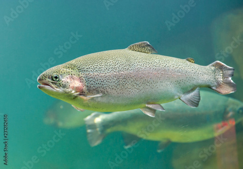 Rainbow trout  (Oncorhynchus mykiss) fish close-up  floating under  sea aquamari Fototapeta