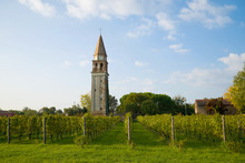 Vineyard On The Background Of The Ancient Bell Tower On A Sunny September Afternoon. Mazzorbo Island, Venice