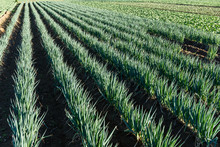 Fresh Green Onion Field