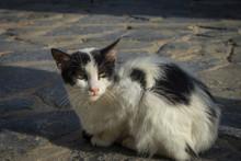 Hania, Crete - 09 26 2018: Akotiri Peninsula. The Black And White Cat With Yellow Eyes