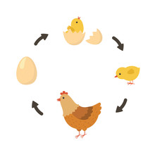 Life Cycle Of The Chicken. Vec...