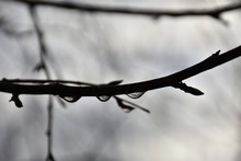 Drops Of Dew On The Branches