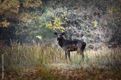 Fototapeta large fallow deer bull obraz