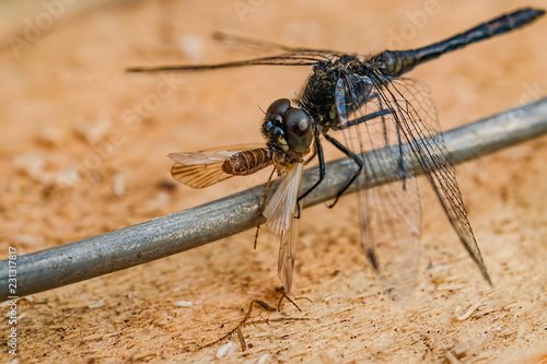 Predatory insect black dragonfly sits on a piece of wire and eats a large moth
