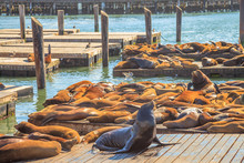 Male Sea Lion Sunbathing In The Foreground. Colony Of Sea Lions At Pier 39 In San Francisco, California, United States. Travel Holidays Concept.
