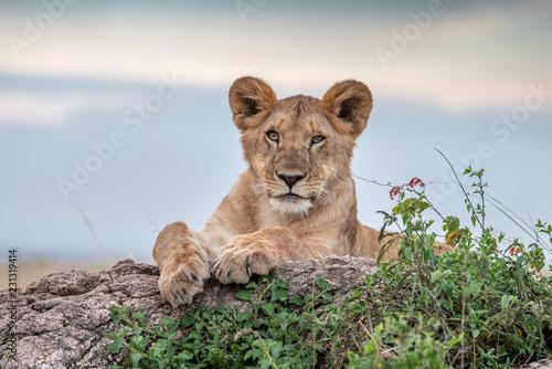 Staande foto Leeuw Cute lion cub