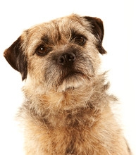 Portrait Of A Border Terrier With Eye Contact And Head Slightly Tilted
