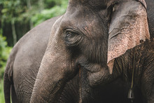 Details Of Trunk And Ears Of A...