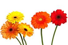 Five Gerbera Flowers Against W...